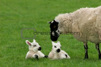 Loving Mother Sheep with Twins