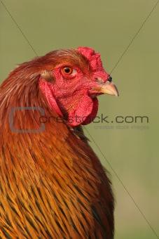 Brahma Rooster