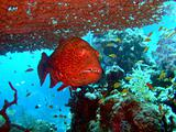 red close-up grouper