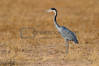 Black-headed heron