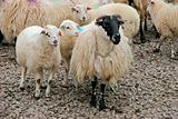 Irish mountain sheep