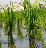 Rice Paddy Closeup
