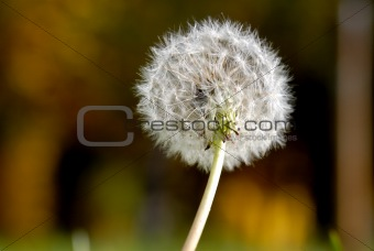 Anthodium of a dandelion.