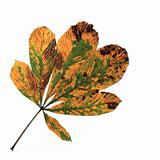 Horse Chestnut Leaf in Autumn