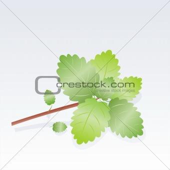 branch of fresh mint