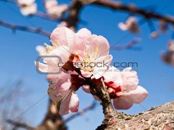 Blooming apricot macro