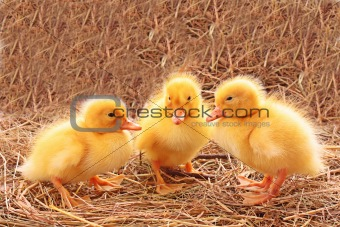 Three young ducks