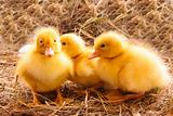 Ducklings and eggs in hay background