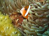 Clownfish in anenome
