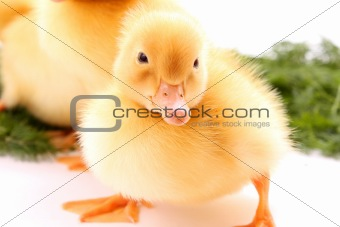 a yellow fluffy duckling