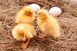 three yellow fluffy ducklings