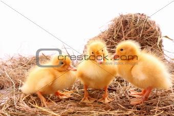 three yellow fluffy ducklings