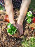 Planting wax begonia