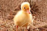 yellow fluffy duckling on the hay