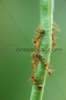 Ants on Bean