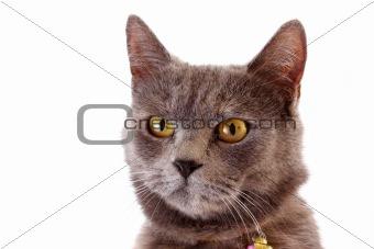 Grey cat  white background