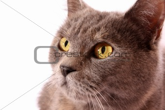 Grey cat  white background