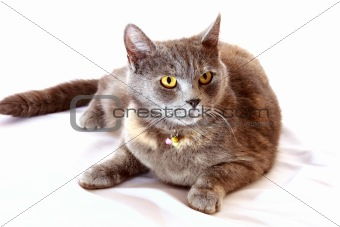 Grey cat  sits on white background
