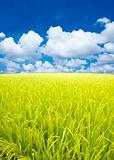 Paddy rice field.