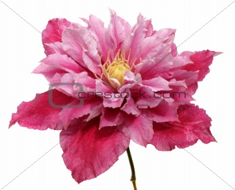 clematis flower isolated on white