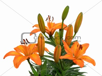 bouquet of lilies isolated on white