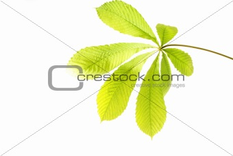 green leaf on white background