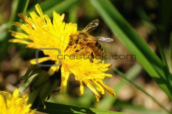Bee in pollen on a yellow flower