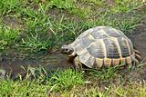 Tortoise walking in the water