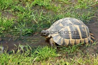 Tortoise walking in the water