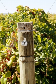 Grenache Vineyard
