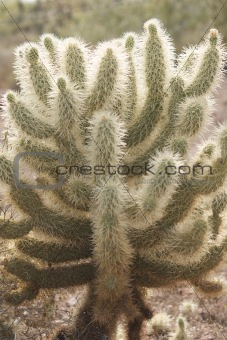 Cactus Densely Covered with Needles