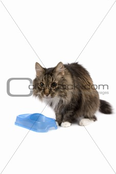Cat with empty bowl cadge meal.