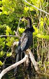 Anhinga in the Everglades