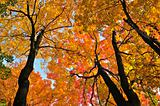 Autumn maple trees