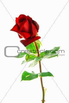 Red rose with leaves