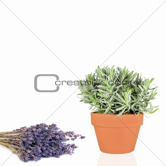 Lavender Herb and Flowers
