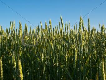 Green wheat ears