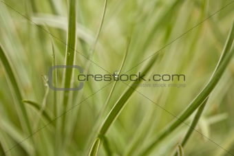 Abstract background of grass leaves and dew drops