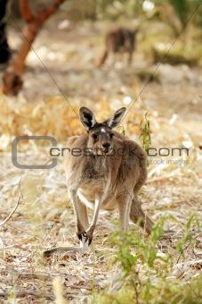 Cute Young Kangaroo