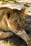 Lion cub stalking