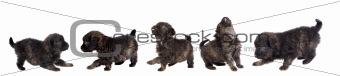 Five cute puppy dog brown