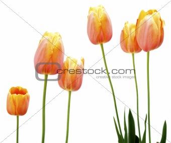 Orange Tulips on White