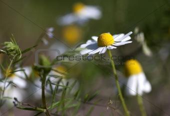 Camomile Flower (Anthemis nobilis)