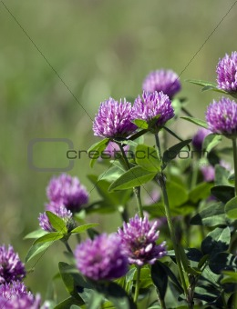 Trifolium pratense (Red Clover)