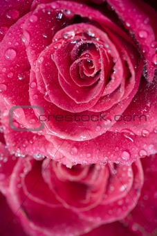 beautiful roses with water drops close-up