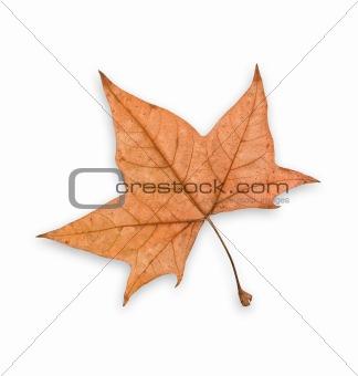 Autumn leaf, clipping path.