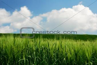 Green wheat stems