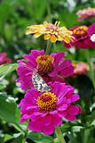 Butterfly on Zinnia flowers