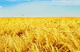 Golden wheat field