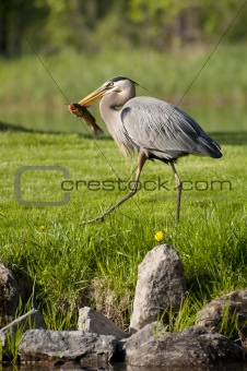 fishing heron walking